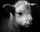 Dramatic Lamb